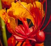 Mexican Bird of Paradise (Caesalpinia   pulcherrim. Mexican Bird of paradise flower Stock Photography