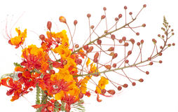 Mexican Bird of Paradise (Caesalpinia pulcherrima) Stock Photos
