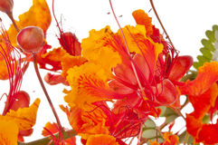 Mexican Bird of Paradise (Caesalpinia pulcherrima) Royalty Free Stock Photos