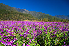 Mexican Bush Sage royalty free stock photos
