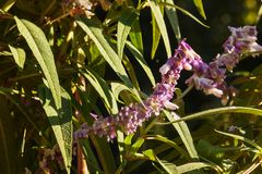 Mexican bush sage royalty free stock photos