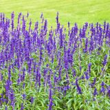 Mexican bush sage blooming in the park in Croatia. Europe stock photo