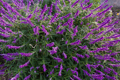 Mexican Bush Sage Flowers In Purple Shade In The Garden In Tasmania, Australia Royalty Free Stock Image