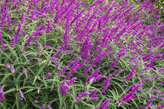 Mexican bush sage flowers (Salvia leucantha) in purple shade Royalty Free Stock Photos
