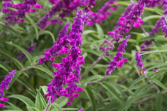 Mexican bush sage flowers (Salvia leucantha) in purple shade royalty free stock photo