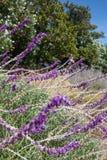 Mexican bush sage Stock Photos