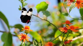 Mexican Butterfly On Mexican Marigold Royalty Free Stock Image