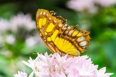 Mexican butterfly Stock Images