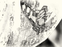 Mexican butterfly Royalty Free Stock Photos