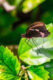 Mexican butterfly Stock Photography