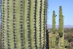 Mexican cacti Stock Image