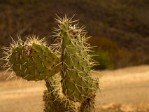 Mexican Cactus Stock Images