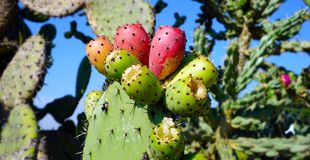 Mexican cactus purple and green fruit. Mexican famous cactus plant know it as nopal with some of his fruits growing over it, traditional mexican fruit called stock images