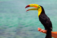 Mexican Caribbean Toucan Stock Photo
