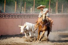 Mexican charros horseman wrestling bull, TX, US royalty free stock image