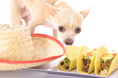 Mexican chihuahua. Shot of a mexican chihuahua Stock Photos