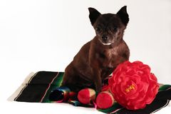 Mexican chihuahua royalty free stock photography