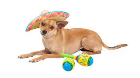 Mexican Chihuahua Dog With Sombrero and Maracas. Cute Chihuahua dog wearing Mexican Sombrero laying on a white background next to a pair of colorful maracas stock image