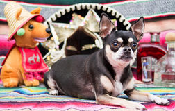 Mexican Cinco De Mayo Dog. Chihuahua dog celebrating Cinco de Mayo Royalty Free Stock Photography