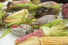 Mexican corn diversity, white corn, black corn, blue corn, red corn, wild corn and yellow corn at a local market in Mexico. Mexican corn variety from white corn Royalty Free Stock Photography