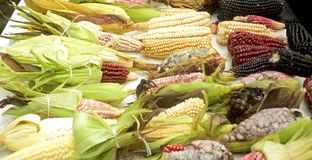 Mexican corn diversity, white corn, black corn, blue corn, red corn, wild corn and yellow corn at a local market in Mexico royalty free stock images