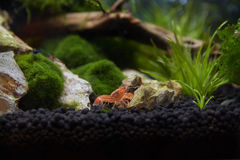A Mexican Crayfish for Nano Aquariu Royalty Free Stock Images