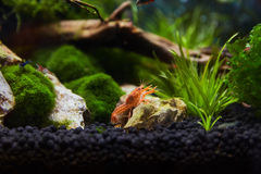 Mexican Crayfish for Nano Aquariu Royalty Free Stock Photography