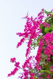 Mexican Creeper, Antigonon Leptopus Is Ornamental Plant That Is Stock Images