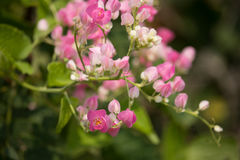 Mexican creeper flower, Small Pink mix white flower Stock Photography