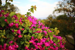 Mexican Creeper flowers Royalty Free Stock Images