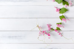 Mexican Creeper pink flower on white wood background. With copy space Royalty Free Stock Photography