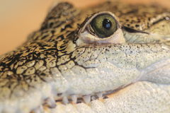 Mexican crocodile. The detail of Mexican or Morelet crocodile Stock Image