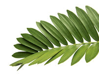 Mexican cycad leaf isolated on white background. Foliage of Cardboard palm or Zamia furfuracea or Mexican cycad isolated on white background, with clipping path Royalty Free Stock Images