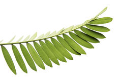 Mexican cycad leaf isolated on white background. Foliage of Cardboard palm or Zamia furfuracea or Mexican cycad isolated on white background, with clipping path Royalty Free Stock Image