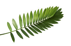 Mexican cycad leaf isolated on white background royalty free stock image