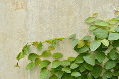 Mexican daisy climbing on cement wall in backyard garden Stock Images