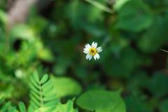 Mexican daisy Royalty Free Stock Photo