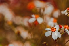 Mexican daisy is a herbaceous plant that grows throughout the year stock images