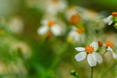 Mexican daisy is a herbaceous plant that grows throughout the year stock photos