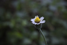 Mexican daisy. Tridax procumbens L Stock Photos