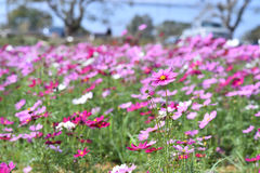 Mexican Diasy. Cosmos flowers in the field.Selective focus depth of field Stock Photography