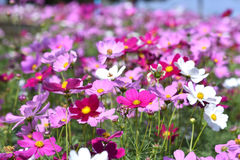Mexican Diasy. Cosmos flowers in the field.Selective focus depth of field Stock Photos