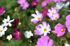 Mexican Diasy. Cosmos flowers in the field.Selective focus depth of field Stock Photo
