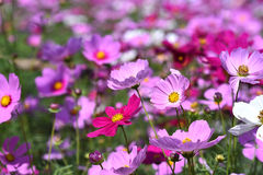Mexican Diasy. Cosmos flowers in the field.Selective focus depth of field Stock Images