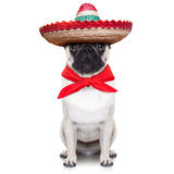 Mexican dog. With big sombrero hat and red tie royalty free stock photography