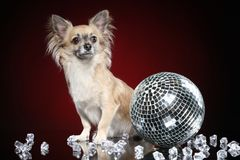 Mexican dog Chihuahua with disco ball royalty free stock photography
