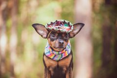 Mexican dog in sombrero and bandage on natural background. Mexican dog in sombrero and bandage on natural stock image