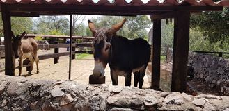 Mexican Donkey in a stable royalty free stock image