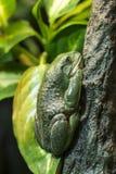 Mexican dumpy tree frog Stock Photo