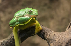 Mexican dumpy tree frog. (Pachymedusa dacnicolor Royalty Free Stock Photography